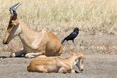 picture of calves  - Family of hartebeests  - JPG
