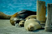 sea lions sleeping together in the galapagos islands
