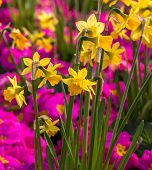 Daffodils , pink flower background