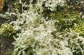 White Lace Lichen
