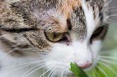 Cat tasting grass close up portret