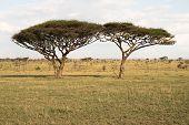 Twin Acacia Trees