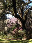 stock photo of breath taking  - Breath taking trees on Magnolia Plantation in Charleston - JPG