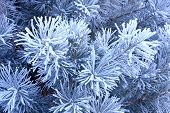 image of conifers  - Winter landscape the Hoarfrost on a conifer - JPG
