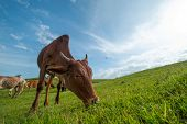 Cows grazing on lush grass field