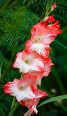 pic of gladiolus  - Red and white gladiolus on background of green plants - JPG