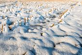 picture of maize  - Rows of maize stubble in the snow on a cold and sunny winter day - JPG