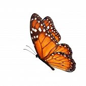picture of monarch butterfly  - Beautiful monarch butterfly flying isolated on white background - JPG