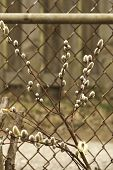 image of chain link fence  - Pussy willow branches on a chain link fence.