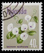 Ipomoea Spathulata