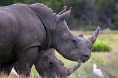 White Rhinos And Egrets