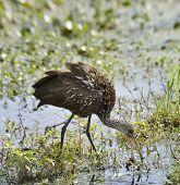 Limpkin Bird Feeding In Florida Swamp