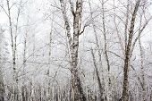 picture of birchwood  - Birch trees covered with hoarfrost in the cloudy day - JPG