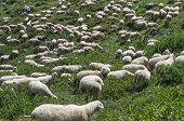 A Herd Of Sheep On A Mountain Pasture.