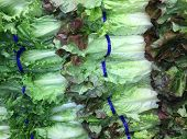 Fresh, crisp romaine lettuce nicely arranged at a local farmers market produce section