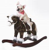 dog riding a rocking horse - french bulldog puppy