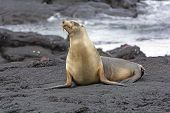 Galapagos Sea Lion On A Lava Bed