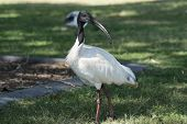 picture of bribie  - An Australian White Ibis  - JPG