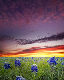 stock photo of bluebonnets  - Bluebonnets covering a rural Texas field at sunrise - JPG