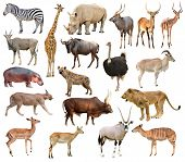 picture of eland  - collection of africa animals isolated on white background - JPG