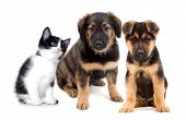 foto of puppy kitten  - puppies and kitten on a white background - JPG