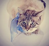 image of domestic cat  - Striped domestic blue - JPG