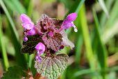stock photo of nettle  - Purple dead - JPG