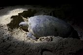 picture of laying eggs  - Green turtle laying eggs on beach in Malaysia at night - JPG