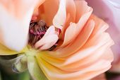 picture of buttercup  - close up of mature pink  buttercup flower - JPG