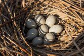 image of bird egg  - Birds nest with eggs in the wild - JPG