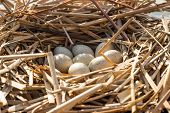 foto of bird-nest  - Birds nest with eggs in the wild - JPG