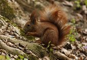 image of walnut-tree  - close up of squirrel eating walnut at tree - JPG