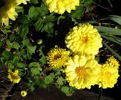 Late Blooming Mums