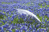 picture of bluebonnets  - A white lace parasol lies on its side in a field of Texas bluebonnets - JPG