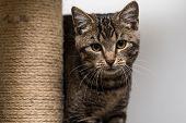foto of tabby-cat  - Tabby cat staring in the camera - JPG