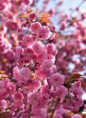picture of sakura  - Spring time - JPG