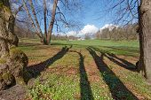 pic of lime-blossom  - A beautiful park with lime trees shadows and wood anemones during the spring - JPG
