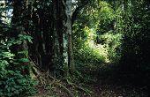 Strangler Fig Tree In Rainforest