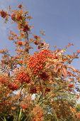 Red Berries On A Mountain Ash Tree Autumn Fall