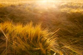picture of cross-hatch  - Soft Barley crop growing in Cotswolds countryside during Summer before harvest - JPG