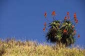 Aloe plant on grassy hill top on a sunny day in south africa