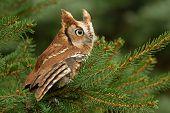 Little Red Eastern Screech Owl