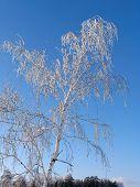 Birch Under The Hoar-Frost