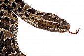 Giftige slang