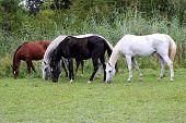 Beautiful Purebred Arabian Horses Grazing On Pasture Summertime poster