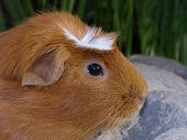 Profile Of A Crested Guinea Pig