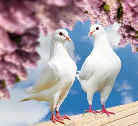 foto of pigeon  - Beautiful view of two white pigeons on perch with flowering lilac tree background imperial pigeon ducula - JPG