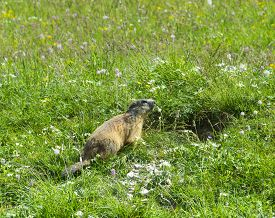picture of groundhog  - Groundhog along the Colle della Maddalena  - JPG