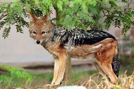 stock photo of jackal  - Black - JPG