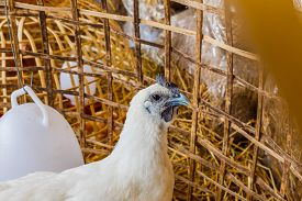 stock photo of chicken-wire  - white chickens in a chicken coop stock photo - JPG